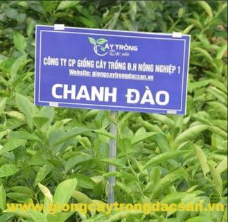 Chanh Đào