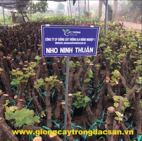 Nho Ninh Thuận