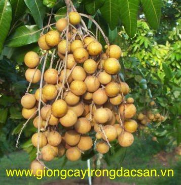 Nhãn Hương Chi