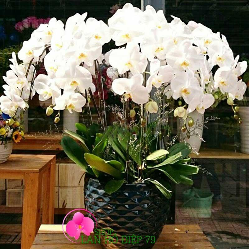 Cách chăm sóc và bón phân cho lan Hồ Điệp ra hoa đẹp