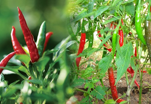 China Based Business Looking To Import Chili Peppers
