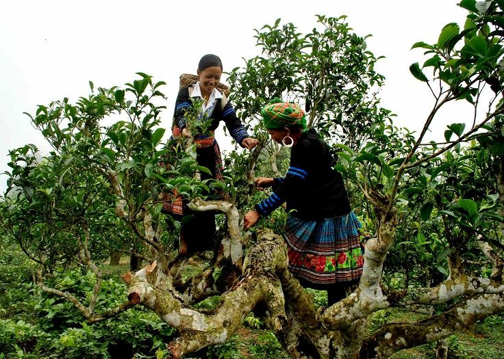 Thái Nguyên: Tìm thấy cây chè trên 300 tuổi