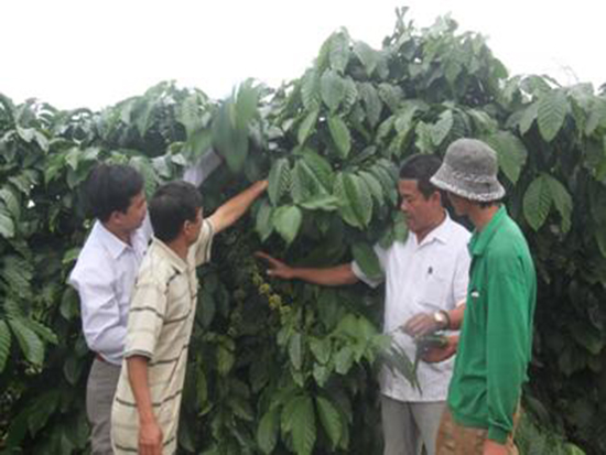 Use of probiotics in intensive coffee cultivation