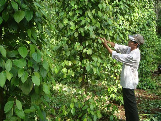 Use of biological products in pepper cultivation