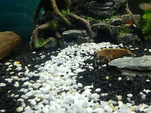 Why You Should Use Gravel in Aquarium?