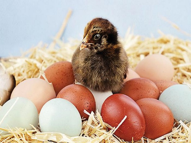 A Guide To Giving Hens The Best Start In Life( End)