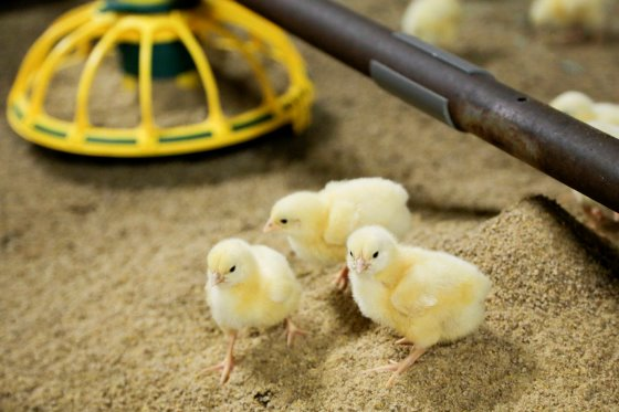 Feed Restriction In Broiler Production (Part 1)