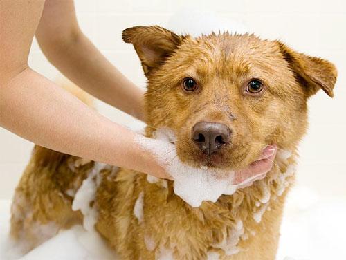 Tắm và gỡ phần lông bị rối cho chó cưng