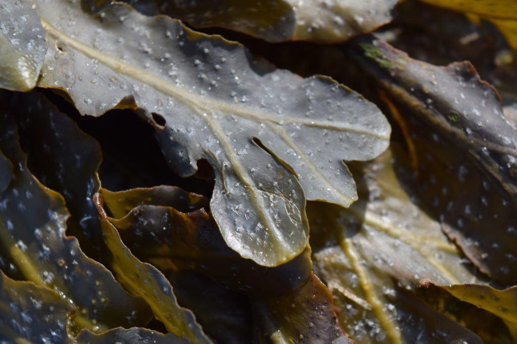tảo nâu thành phần trong viên uống fucoidan