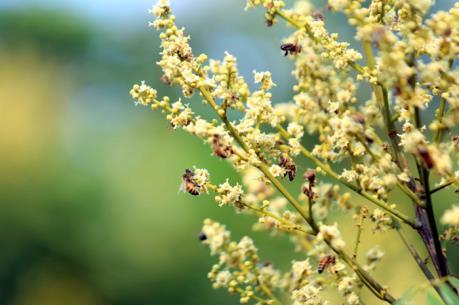 Mật ong hoa nhãn organic (Large size) 480gr