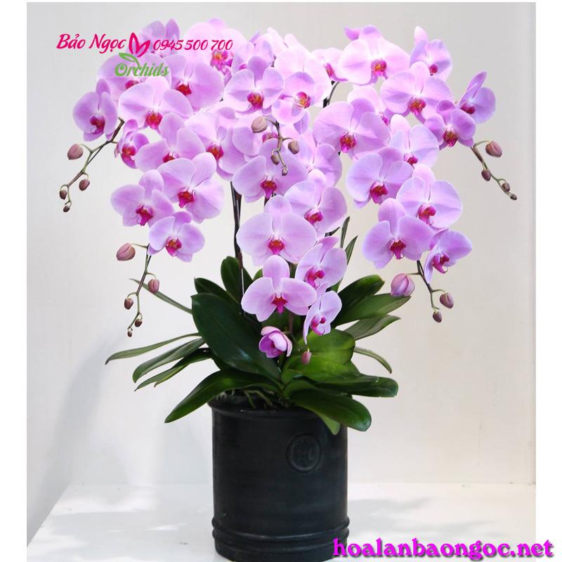 Kết quả hình ảnh cho hoa lan giấy