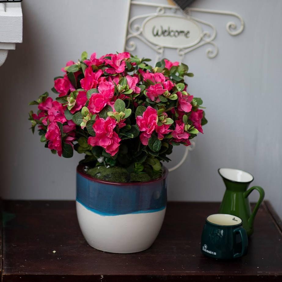 BH679 - Chậu hoa đỗ quyên