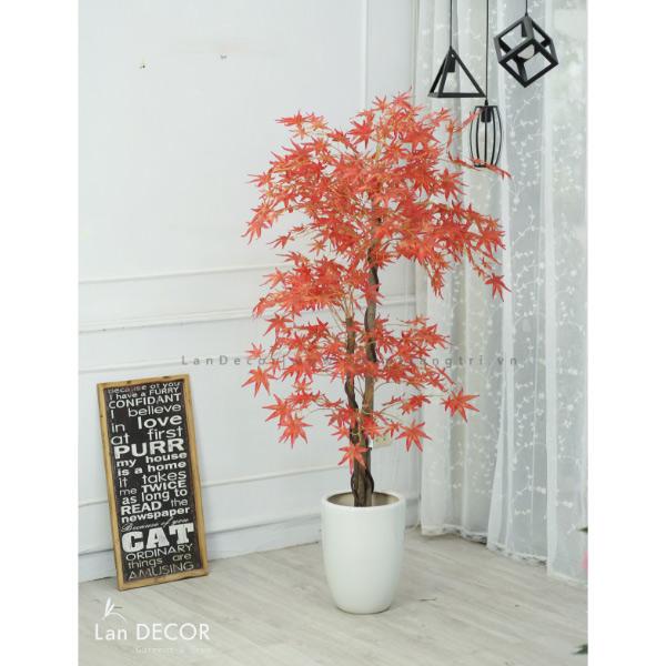 Cây phong lá đỏ 165cm- LC2787