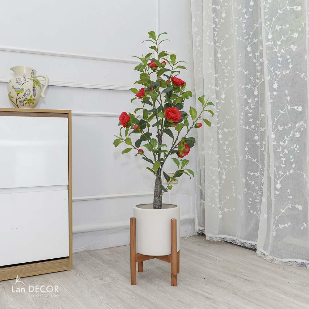 Cây trà đỏ cao 1m - LC3009
