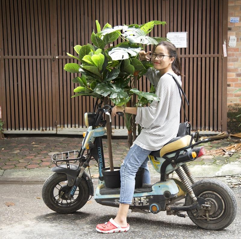 Feedback cây bàng Singapore giả trang trí