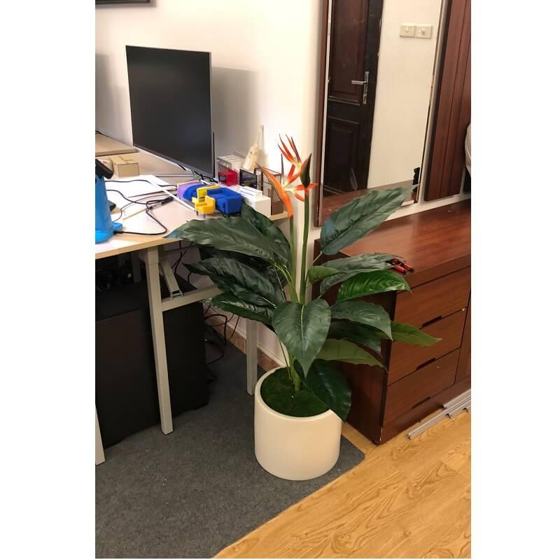 Cây thiên điểu đặt trong phòng làm việc