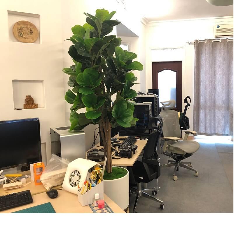 Cây bàng Singapore trang trí văn phòng