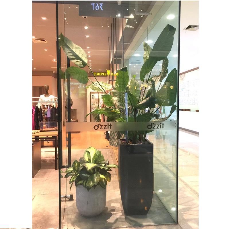Cây chuối cảnh trang trí cửa hàng thời trang
