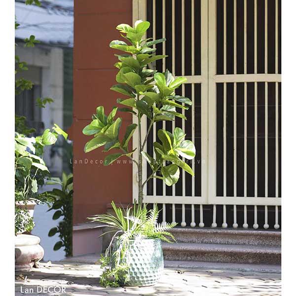 CÂY BÀNG SINGAPORE MIX CHẬU XANH NGỌC BÍCH SANG TRỌNG (180cm) - CC298