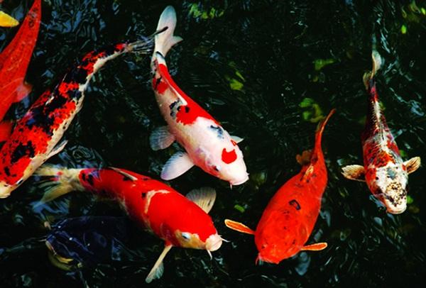 Hướng dẫn cách lựa chọn cá koi phong thủy hợp mạng gia chủ