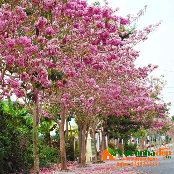 Hình ảnh cây kèn hồng ra hoa ( khoảng 1 năm sau khi trồng )