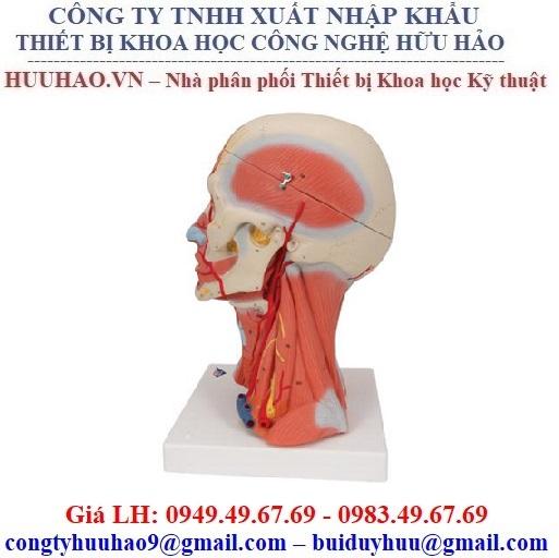 Mô hình giải phẫu hệ cơ xương đầu mặt cổ M-1000214