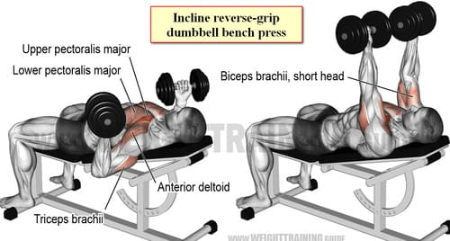 Incline reverse-grip dumbbell bench press