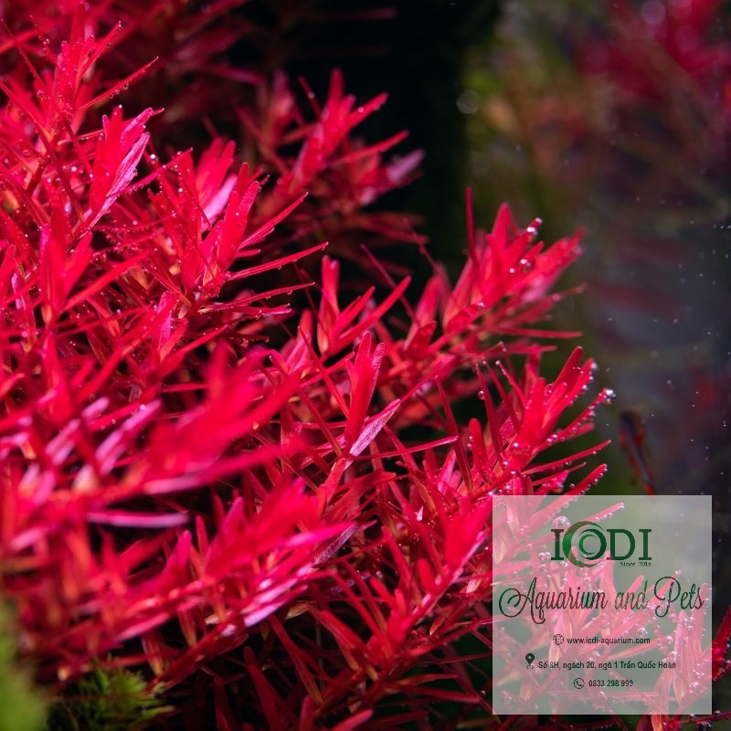 cay-thuy-sinh-vay-oc-do-rotala-super-red