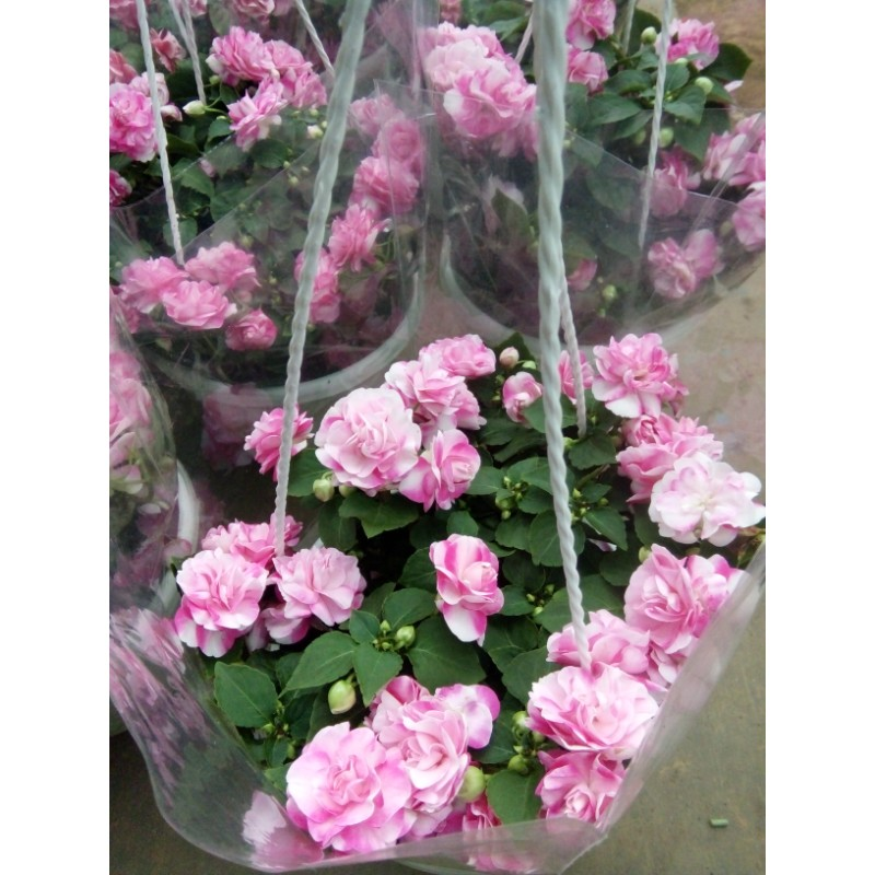 Hoa chậu Mai Đia thảo