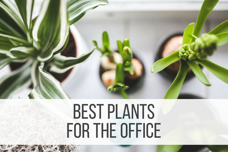 08 Best Plants for The Office Decoration.
