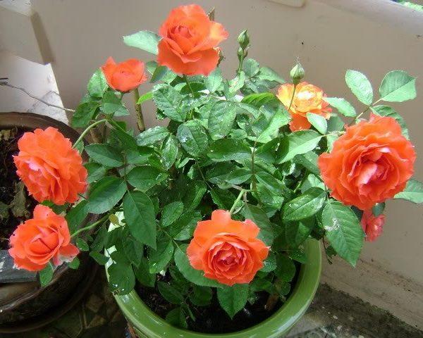 Giá thể trồng hoa hồng: Thành phần & quy trình trộn chuẩn nhất