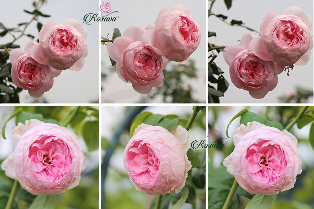 hoa hồng mon couer