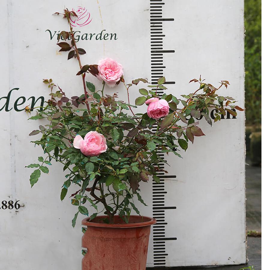 Hoa hồng Điều cổ - Giống hồng cổ Việt Nam đẹp tuyệt hảo