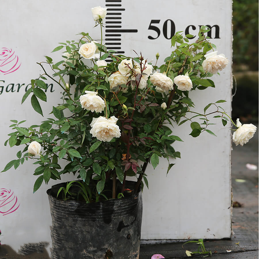 Hoa hồng Bạch Xếp - Giống hồng cổ màu trắng đẹp nhất