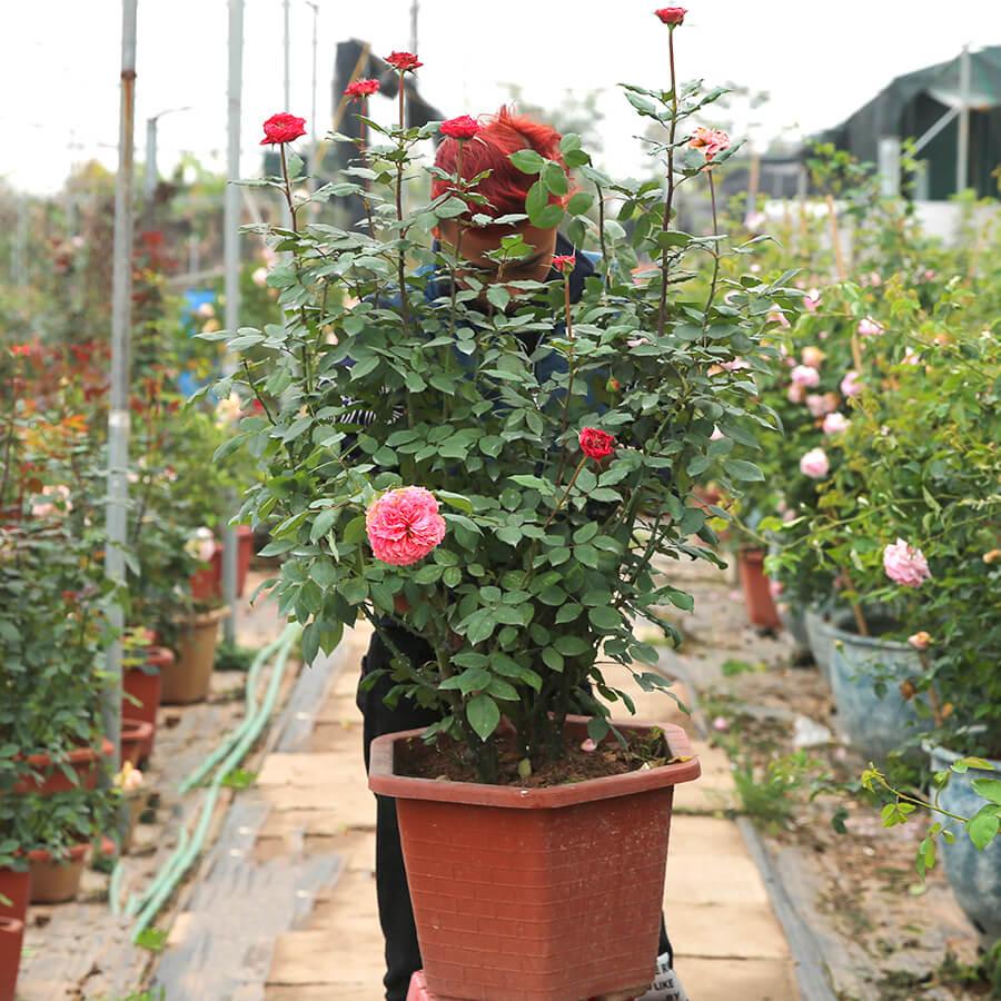 Hoa hồng Đức Rose Corona rose