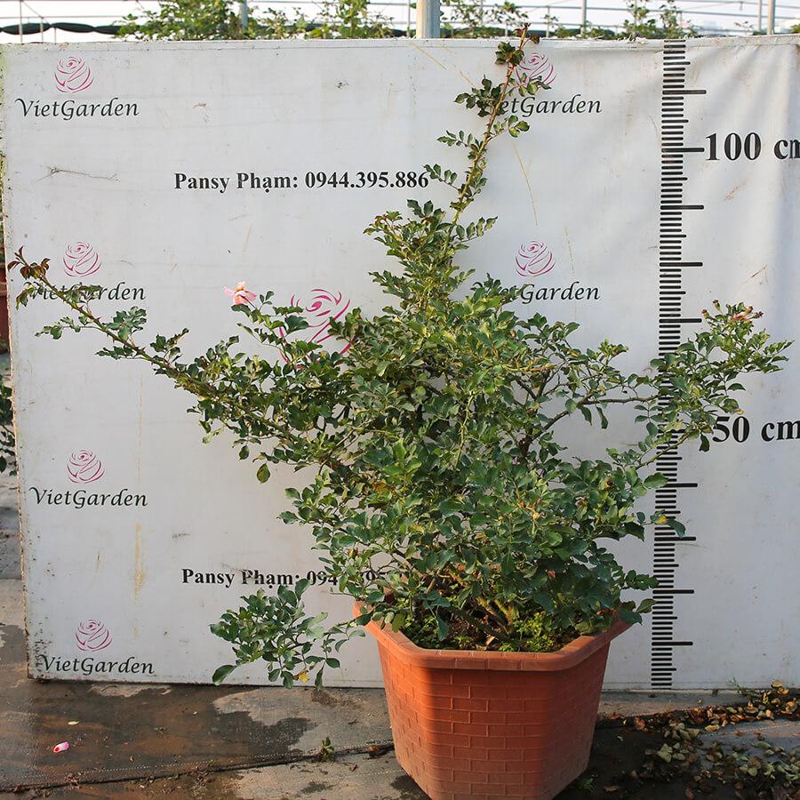 Hoa hồng Hà Lan Eridu Babylon rose