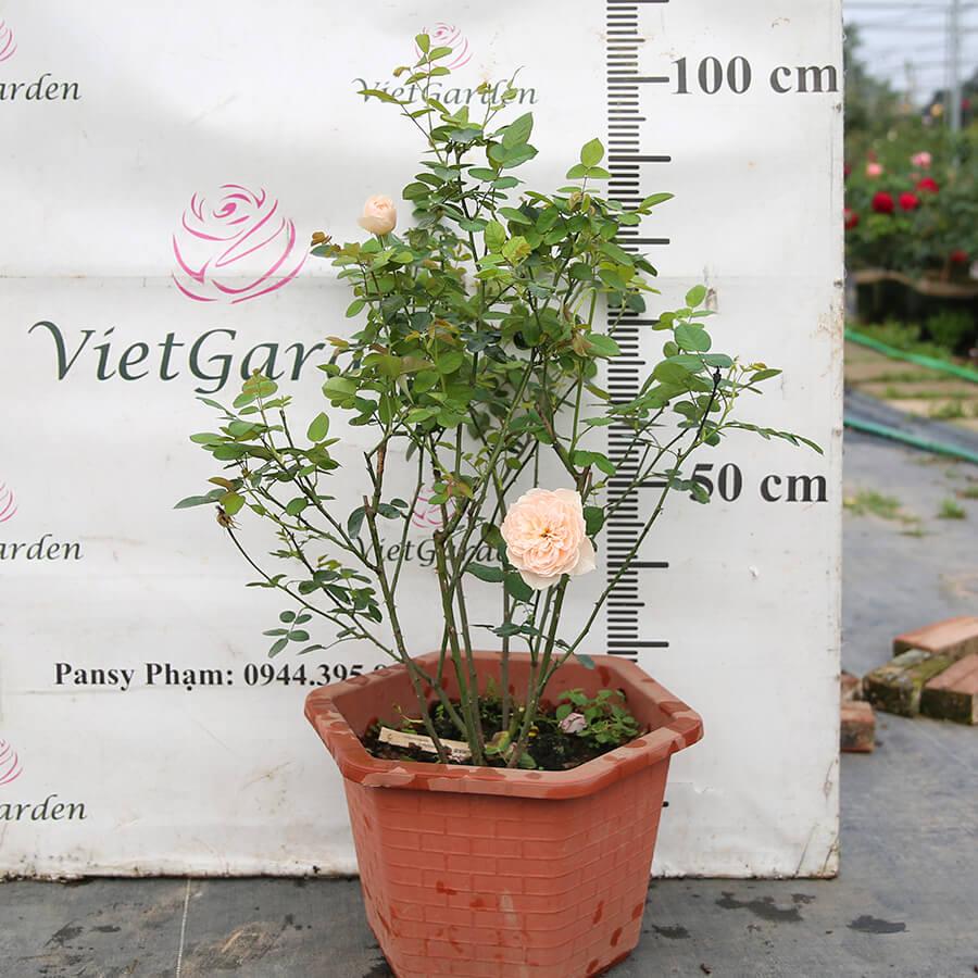 Hoa hồng Nhật Solbepeshblanc rose