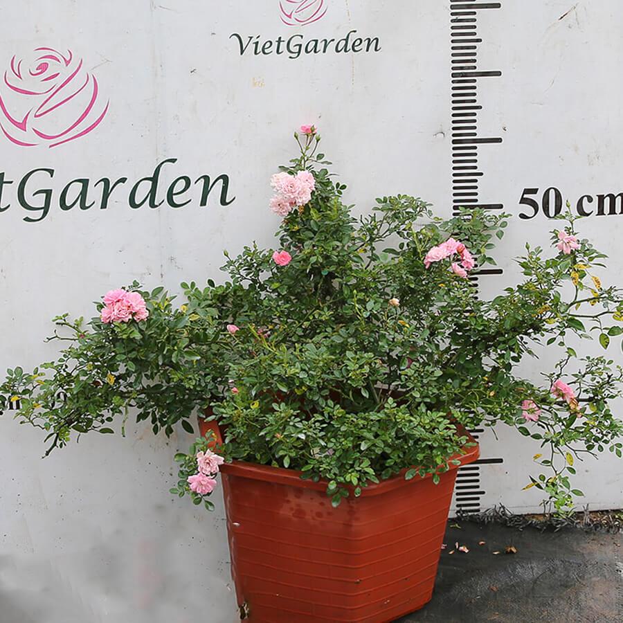 Hoa hồng ngoại The Fairy rose