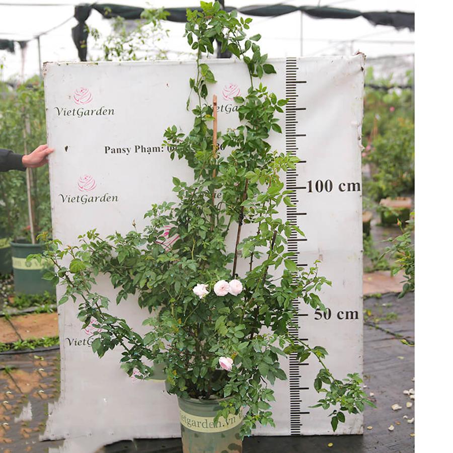 Hoa hồng leo Phớt Hồng Đà Lạt – chùm siêu khủng hoa siêu thơm