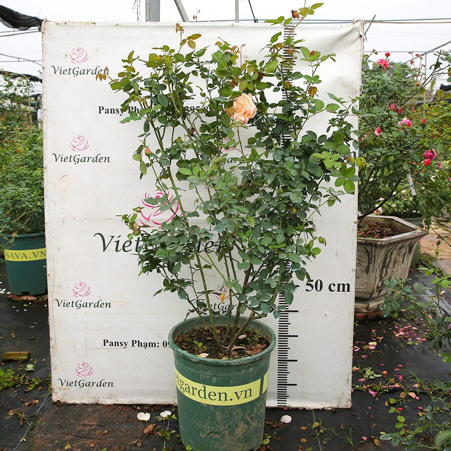 Hoa hồng Pháp Alexandrine rose