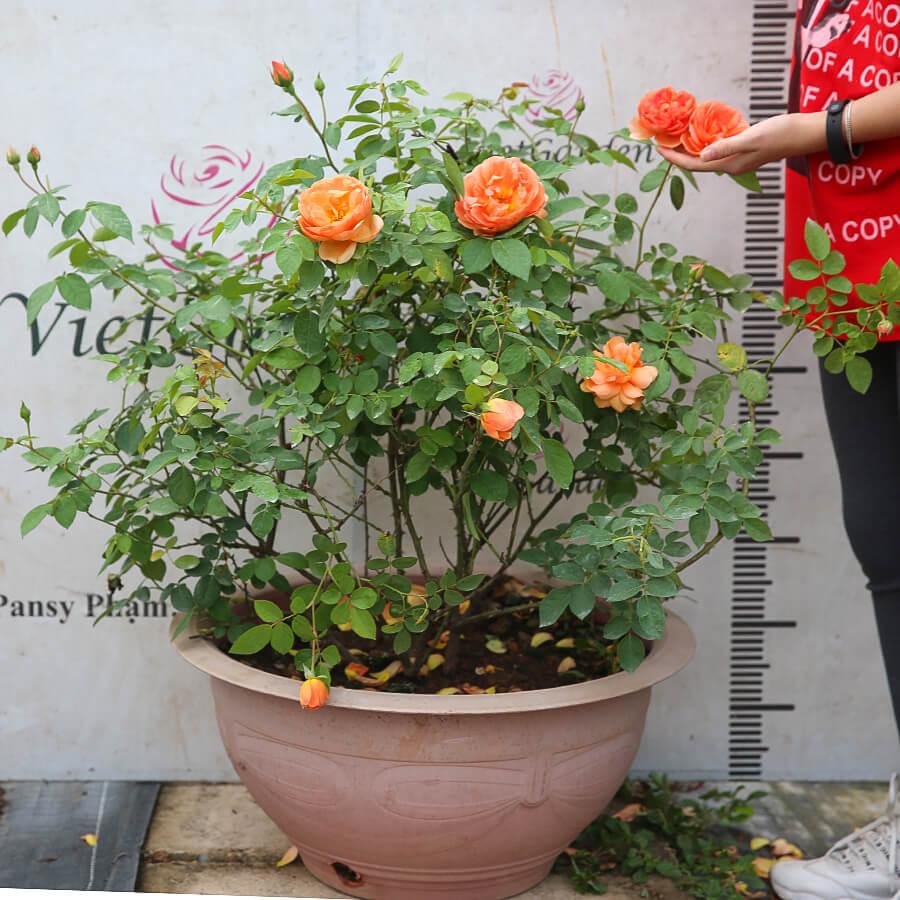 Hoa hồng ngoại Anh Pat Austin rose