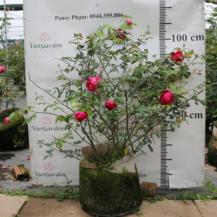 Hoa hồng Nhật Autumn Rouge rose