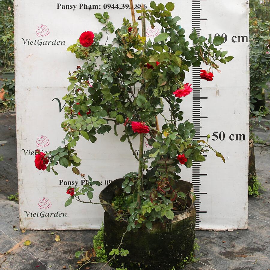 Hoa hồng ngoại Red Leonardo da Vinci rose