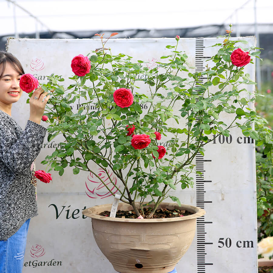 Hoa hồng ngoại Pas De Deux rose