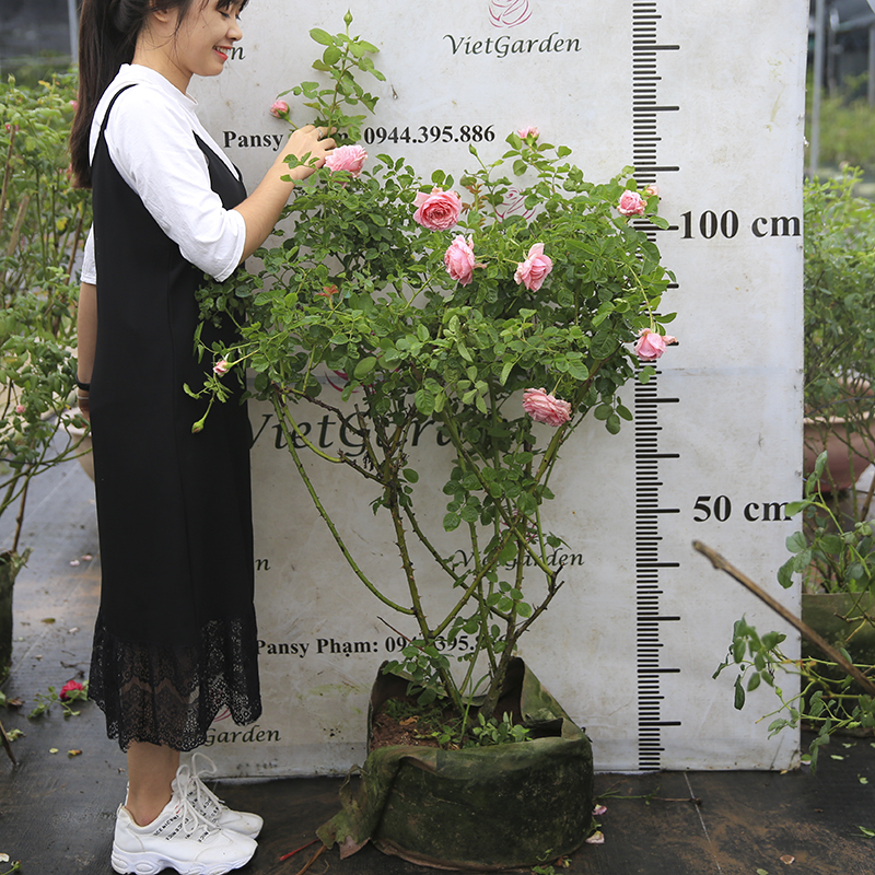 Hoa hồng leo Pháp Bienvenue rose