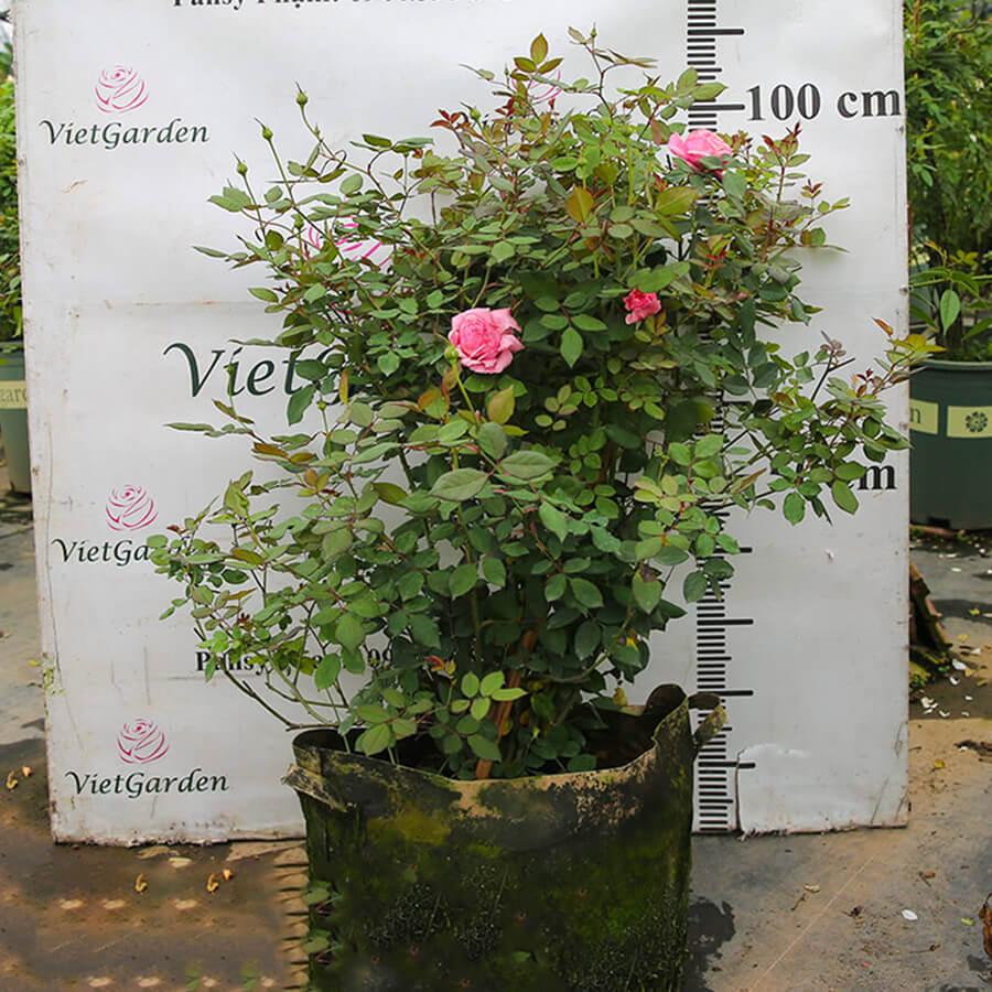 Hoa hồng Mỹ Lady Heirloom rose