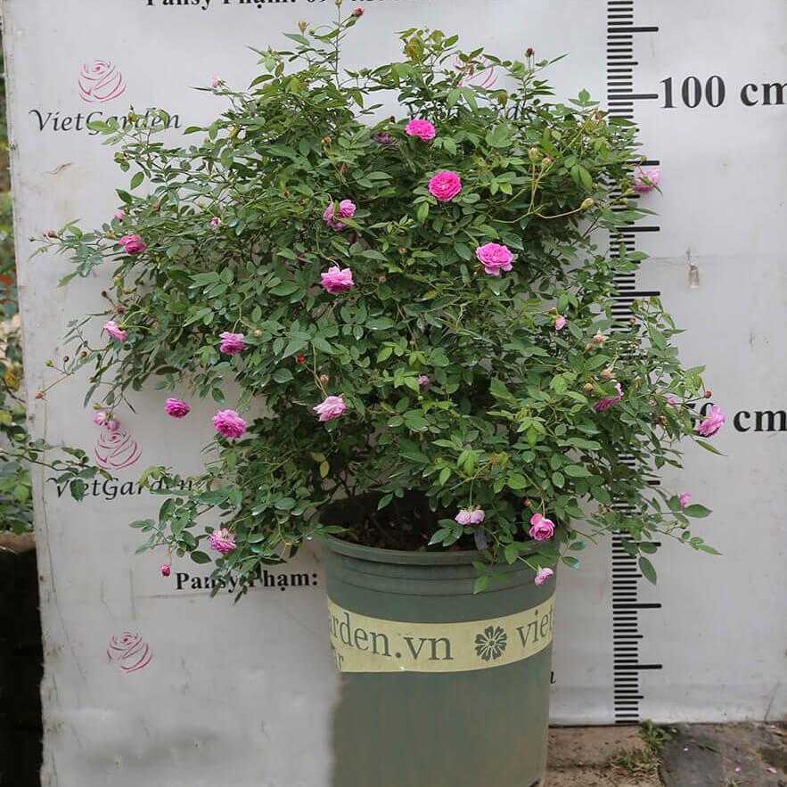 Hoa hồng ngoại Aunt Margy's rose