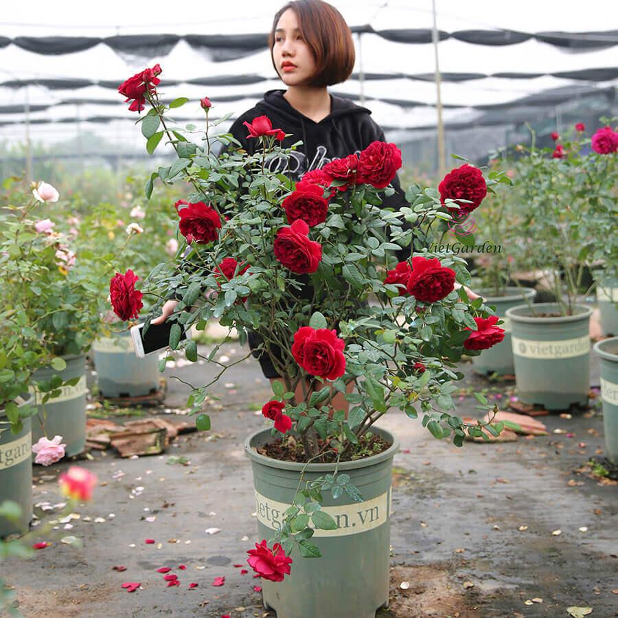 Hoa hồng ngoại Femme Fatale rose