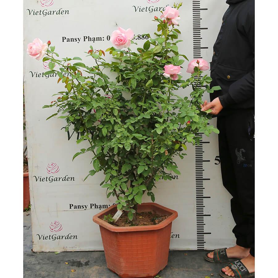 Hoa hồng leo Pháp Billet Doux rose