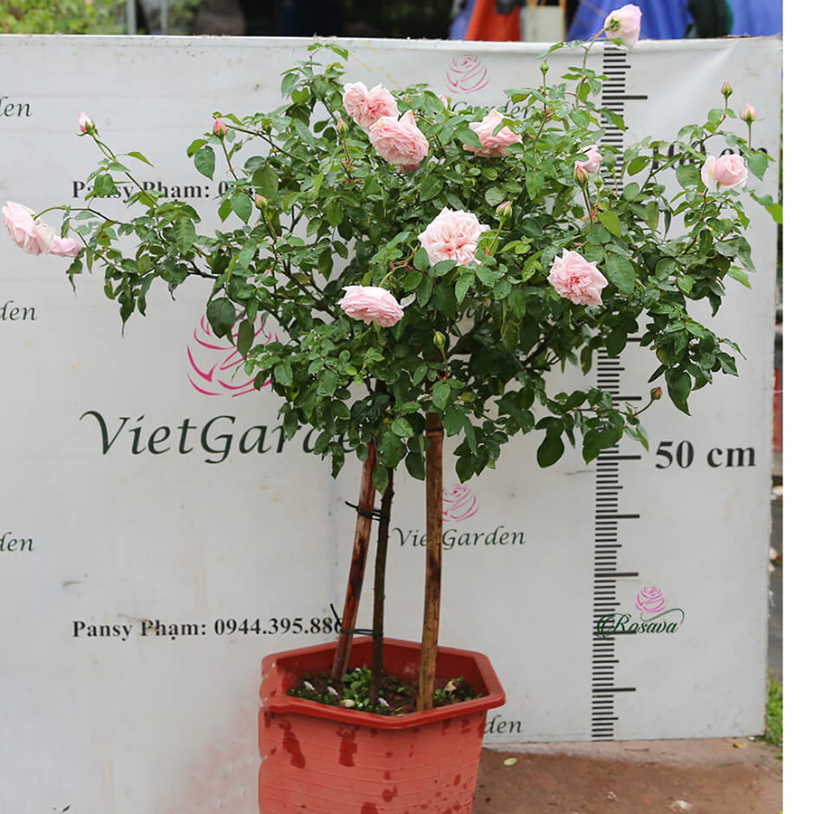 Hoa hồng cổ Vân Khôi – giống hồng thơm nhất Việt Nam